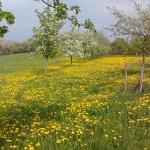 Löwenzahnwiese bei Elsenberg