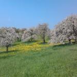 Kirschgarten am Walberla